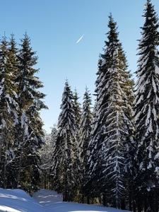 Verschneite Schwarzwald Tannen