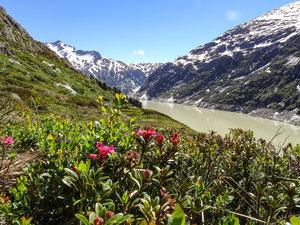 Auch die ersten Alpenrosen beginnen zu blühen